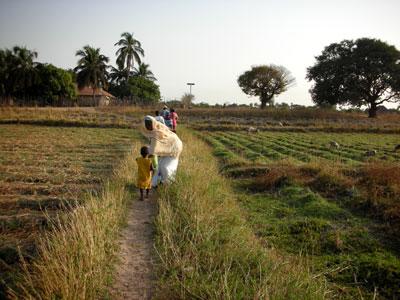 village fields of rice