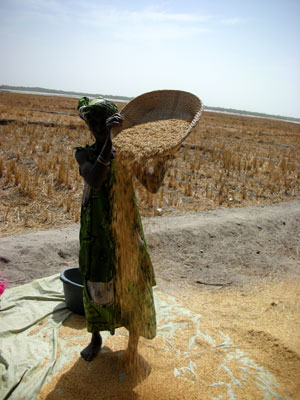 Village Woman with Rice